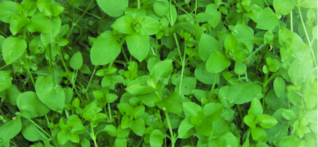 edited Chickweed