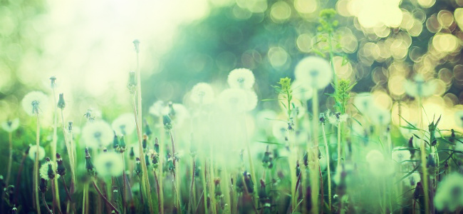 edited Dandelions