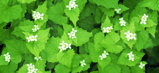 edited Garlic Mustard